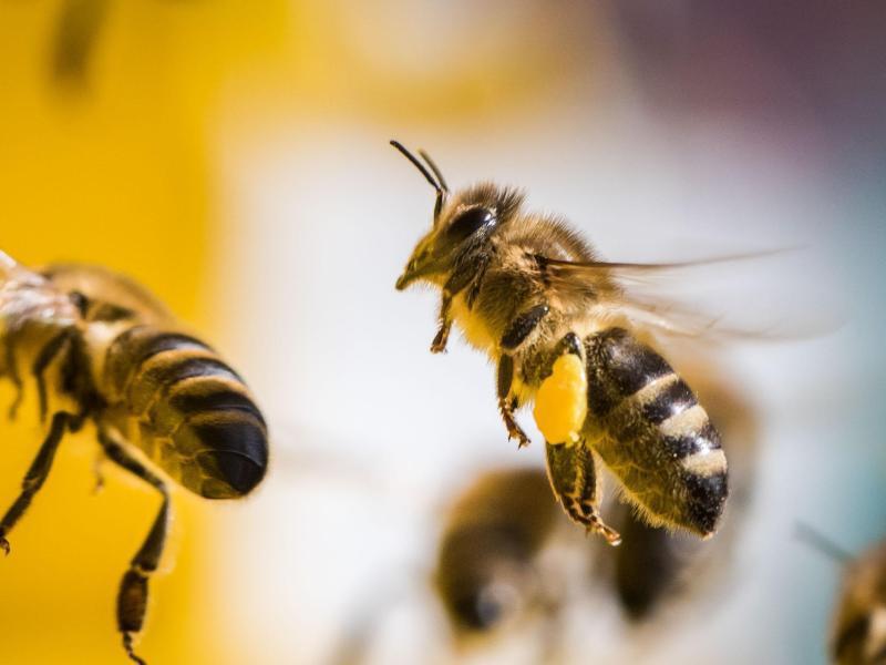 Bild zu Blütenduft lockt die Bienen