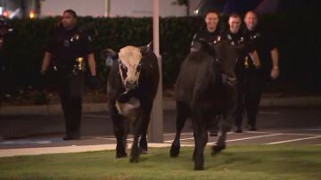 Bild zu Kühe auf der Autobahn