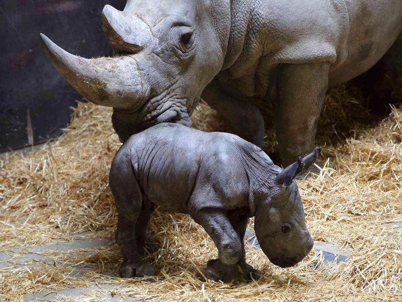 Bild zu Nashorn-Baby Augsburg