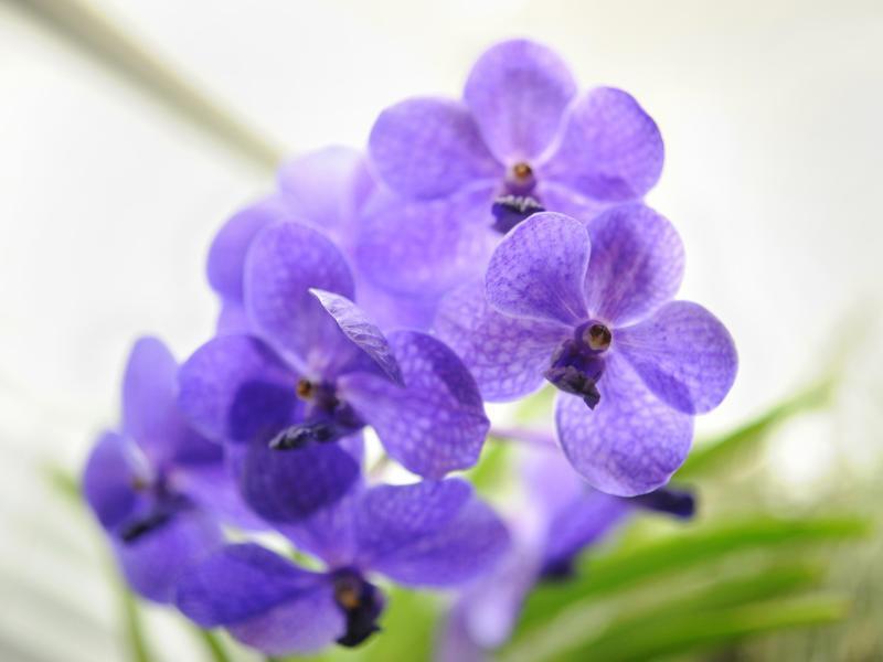 Bild zu Die blauen Blüten der Vanda