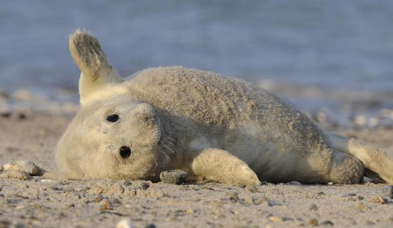 Bild zu Robben-Nachwuchs