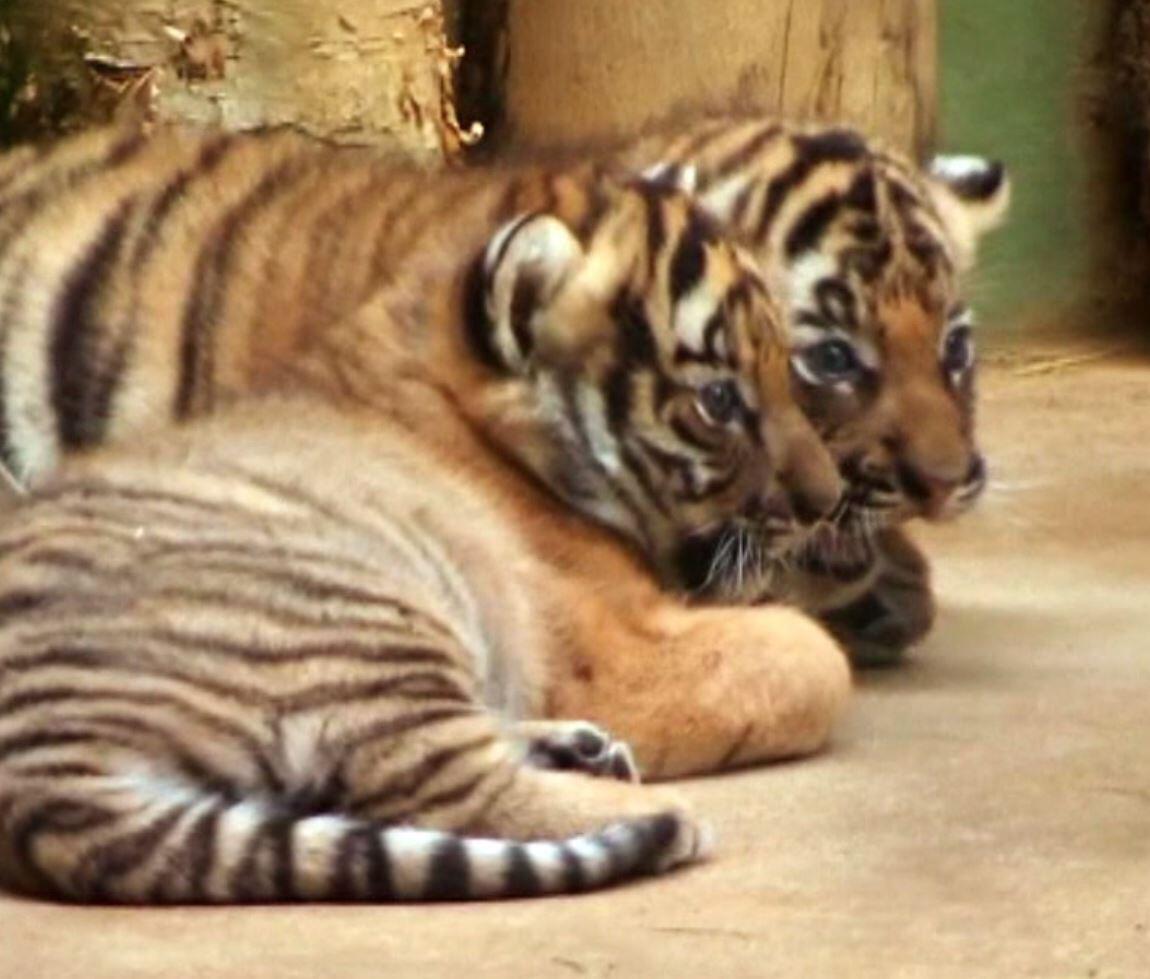 Bild zu Tiger