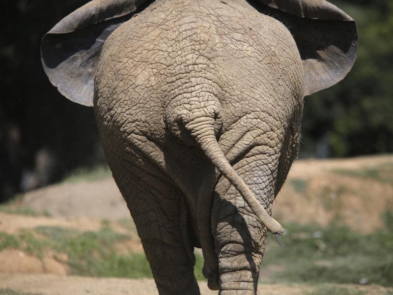 Bild zu Elefant im Zoo von Johannesburg
