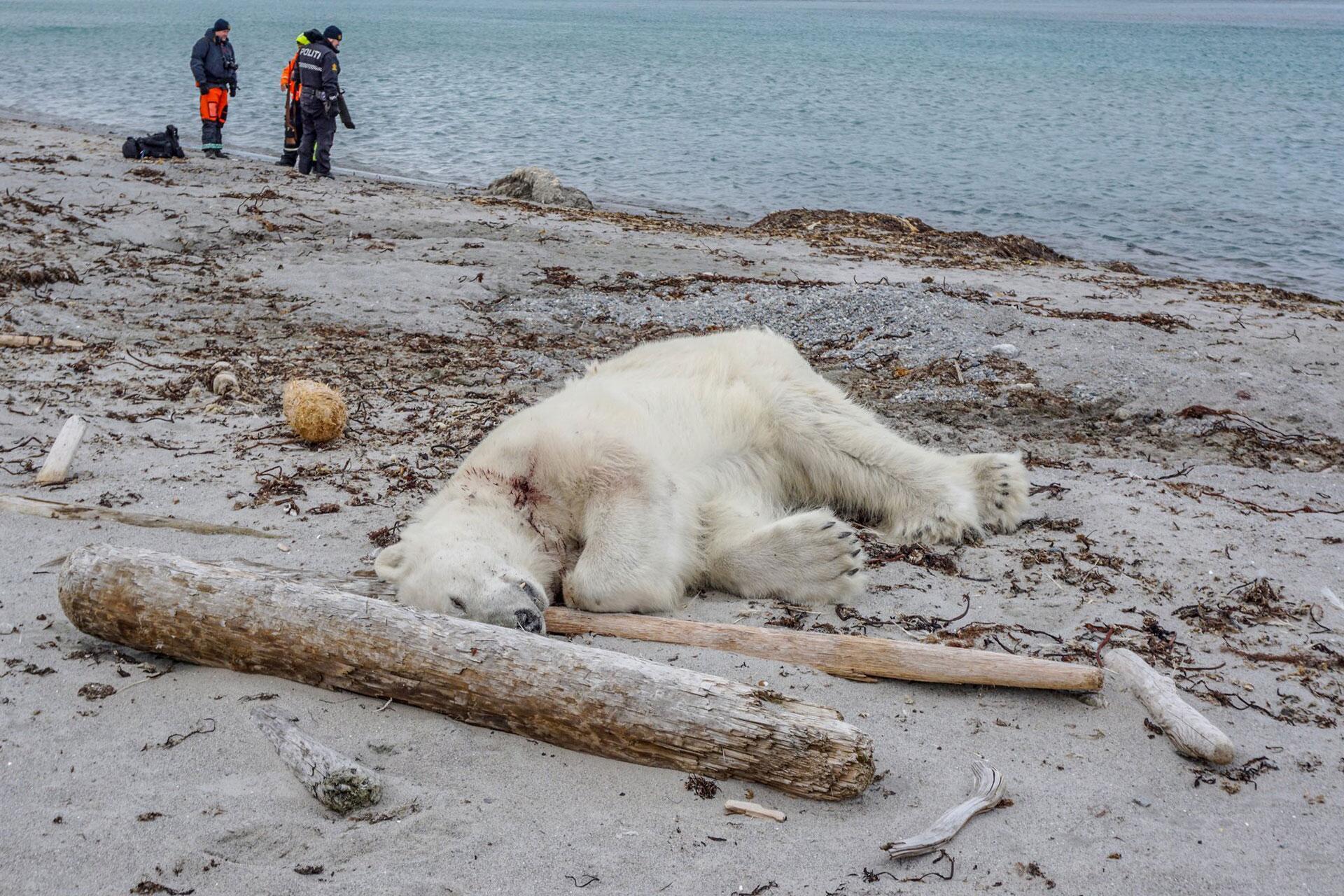 Bild zu Polarbärenangriff auf Spitzbergen