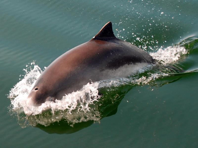 Bild zu Schweinswal in Dänemark