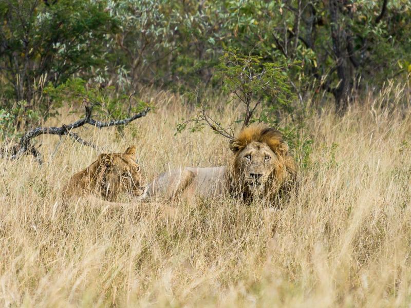 Bild zu Löwen