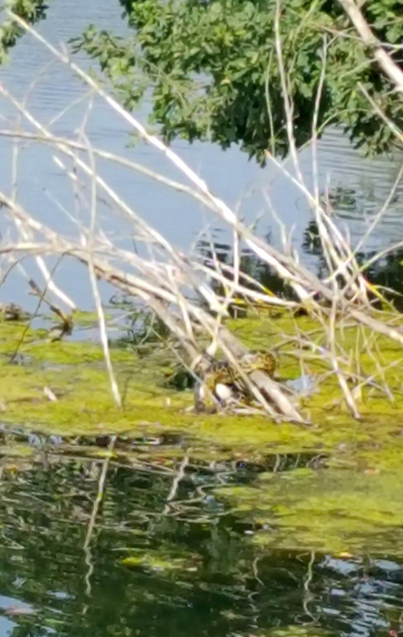Bild zu Gelbe Anakonda in Meerbusch