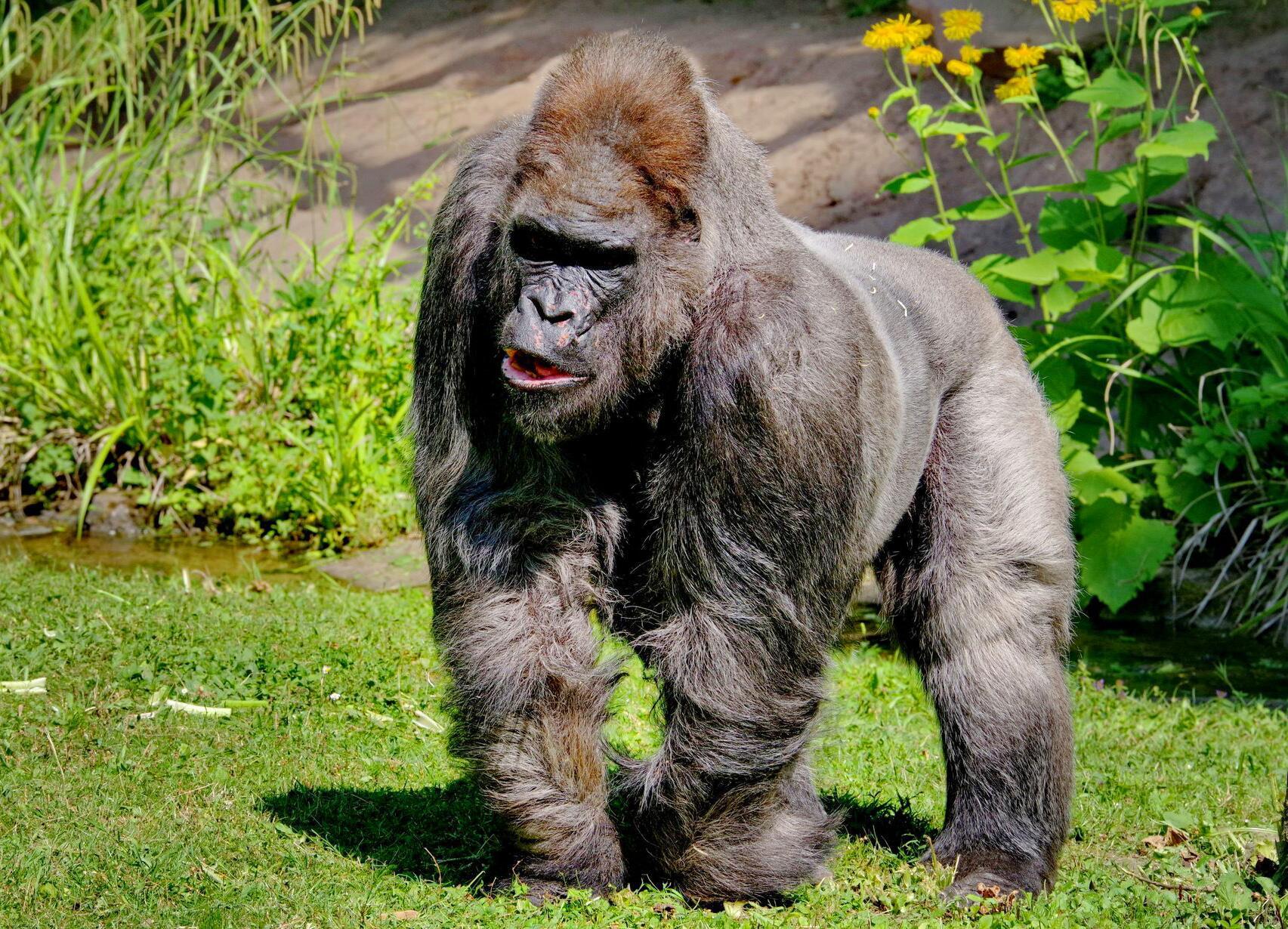 Bild zu Gorilla Fritz gestorben