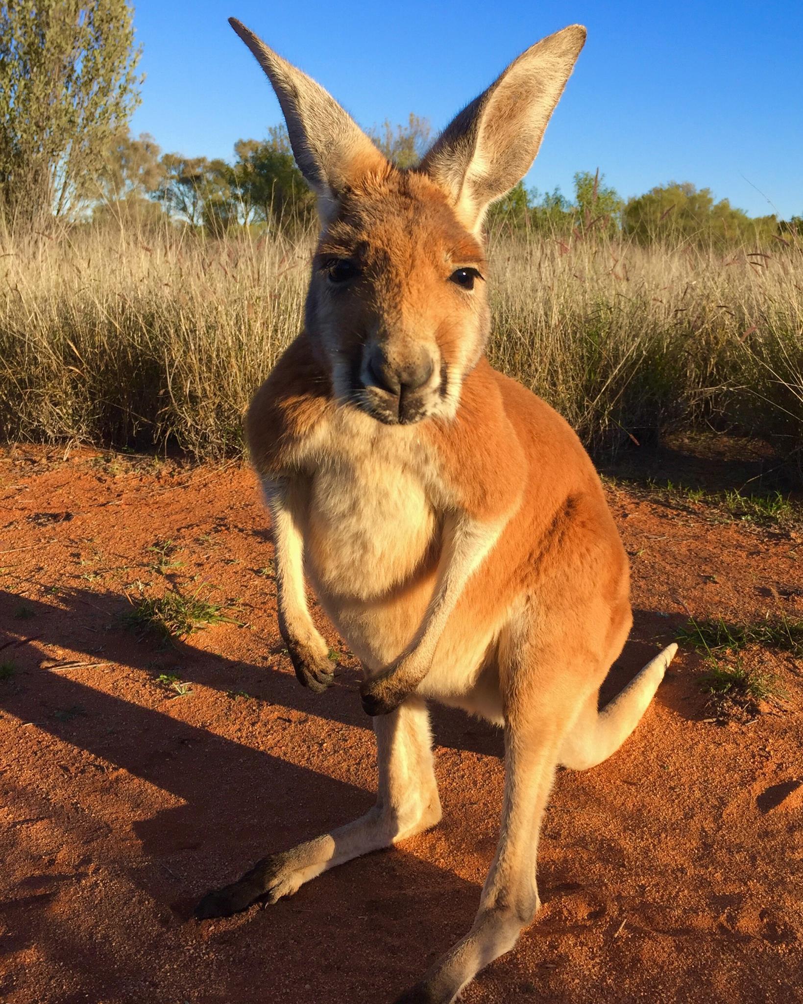 Bild zu Känguru, Pfleger