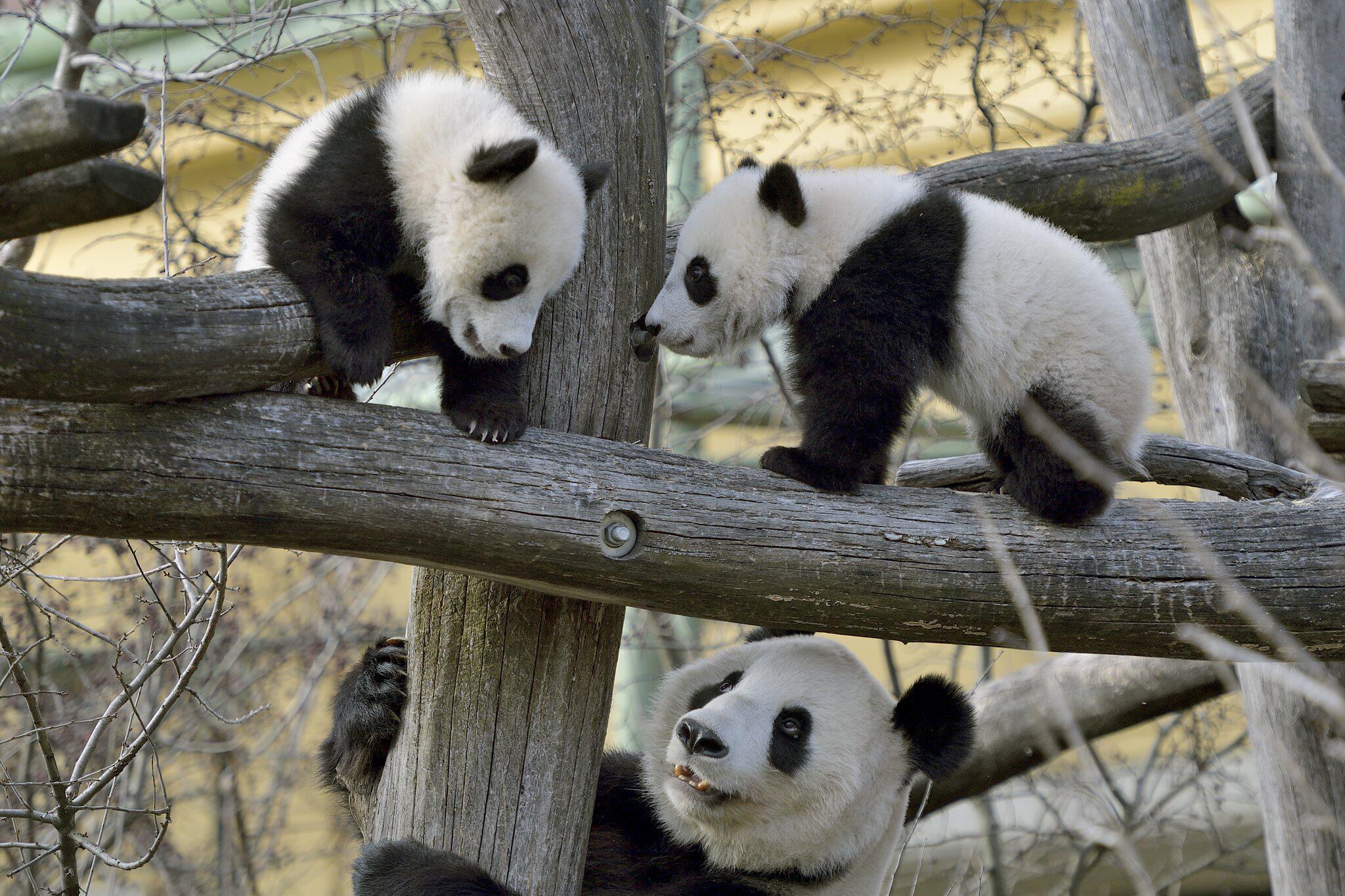 Bild zu PANDA-ZWILLINGE
