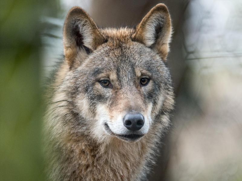 Bild zu Wolf