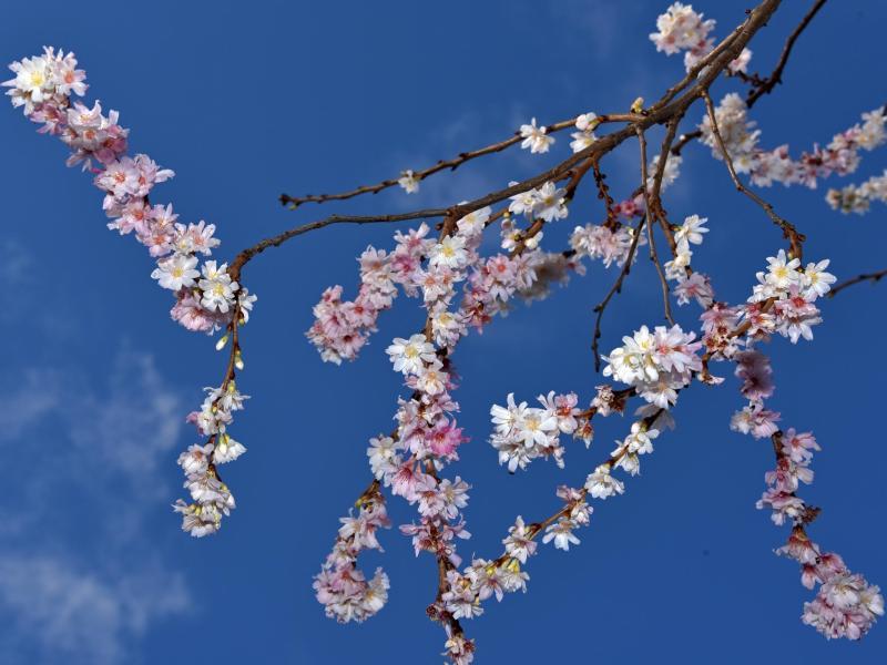 Bild zu Kirschblüte