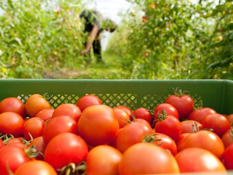 Bild zu Tomaten sind Starkzehrer