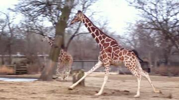 Bild zu Giraffen