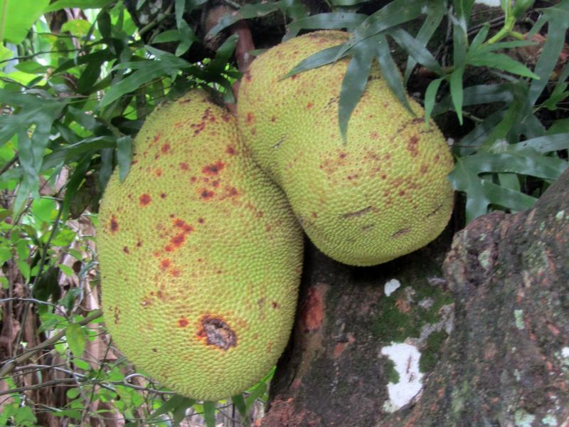 Bild zu Jackfrucht