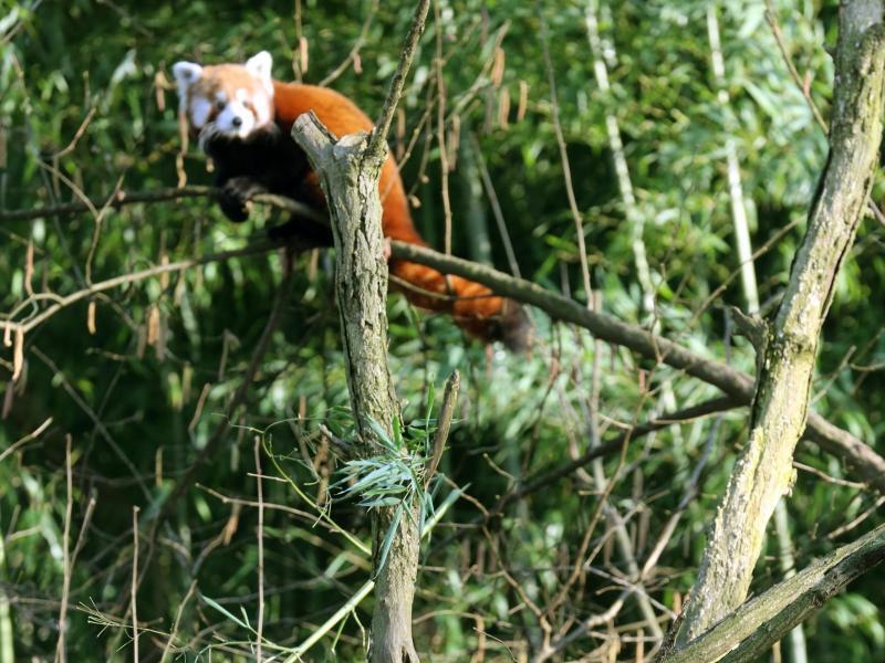 Bild zu Panda-Neuzugang
