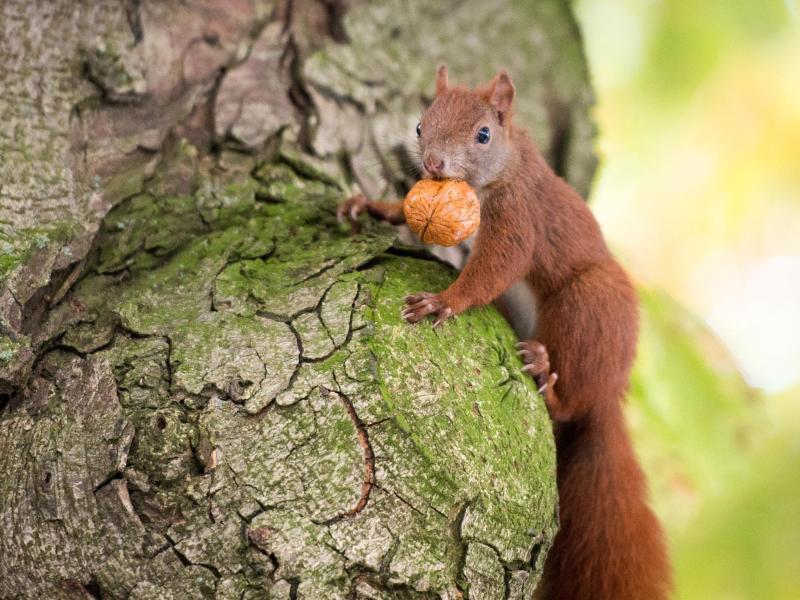 Bild zu Ein Eichhörnchen (Sciurus vulgaris)