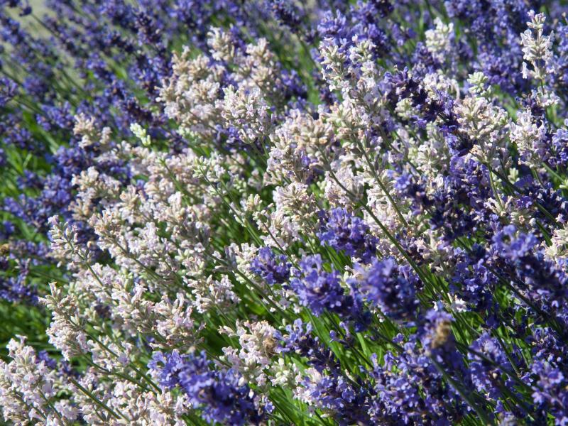 Bild zu Lavendel