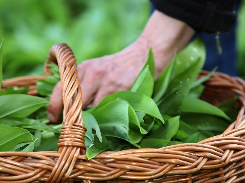 Bild zu Heil- und Gewürzpflanze Bärlauch
