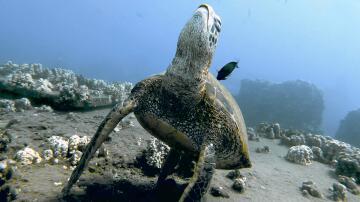 Bild zu Schildkröte, Hawaii