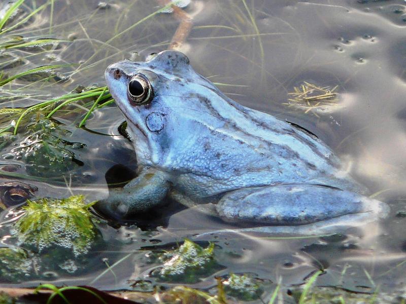 Bild zu Blauer Frosch im Moor